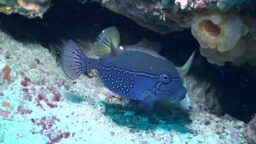 Solor Boxfish - Philippines