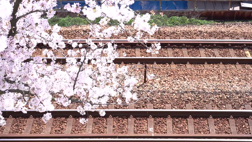 Cherry blossom view · Cherry blossoms in full bloom of Onomichi City and yellow train