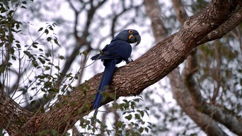Hyacinth Macaw (Anodorhynchus hyacinthinus) on top of tree. Image in the Pantanal Biome. Mato Grosso do Sul state, Central-Western - Brazil.