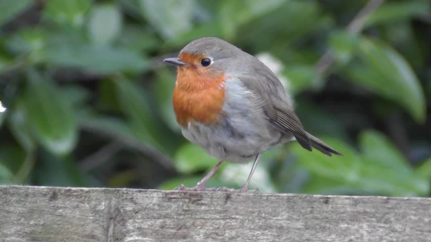 Close-up view of cute bird Robin singing and jumping on a stick in a park on green leaves background | Shutterstock HD Video #1008490171