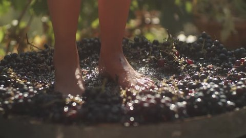 Legs of young woman squeezing black grapes in wooden barrel at winery making wine, close up sunny summer day outdoors