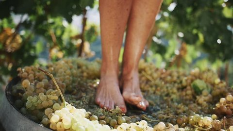 Female feet stomping white grapes in wooden shaft at winery making wine, close up sunny summer day outdoors