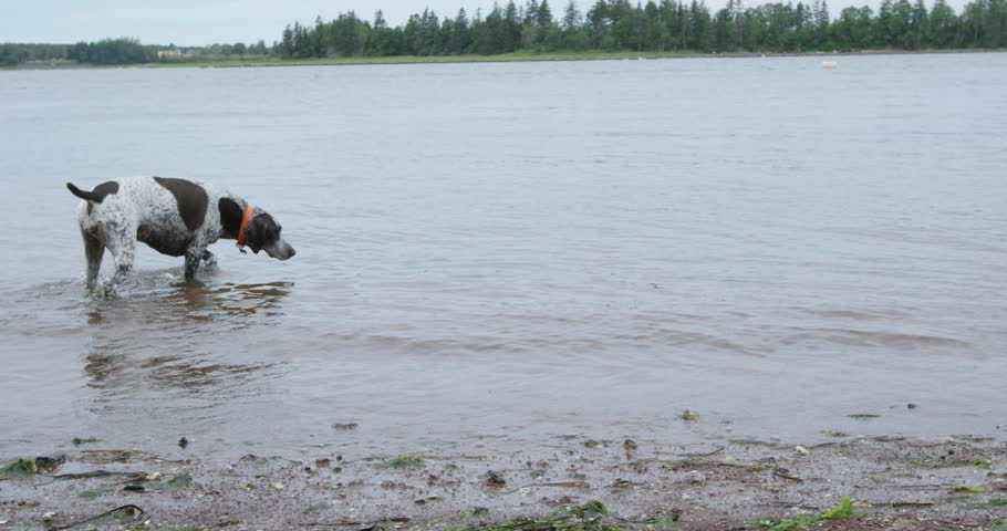 German shorthaired pointer dog fishing for clams on salt water beach - wide shot
