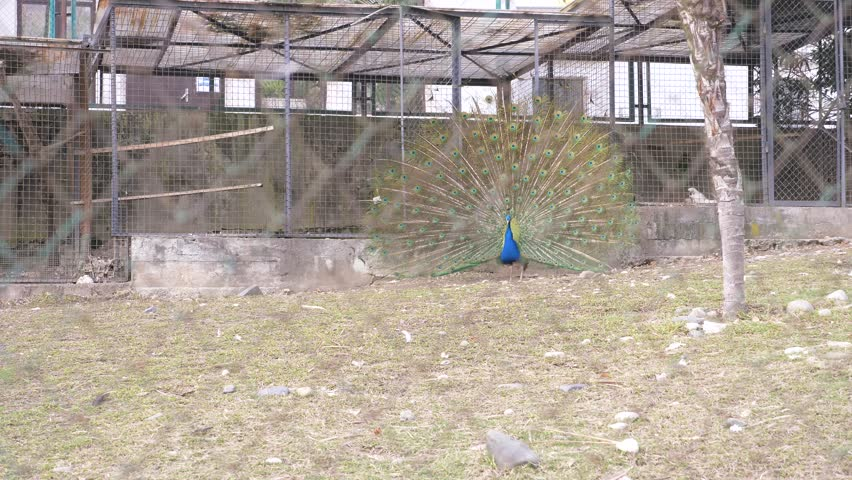 Beautiful dancing peacock. aviary with peacocks in the season of mating birds. Peacocks spread their tails. view through the fence. 4k, slow motion. | Shutterstock HD Video #1008557521