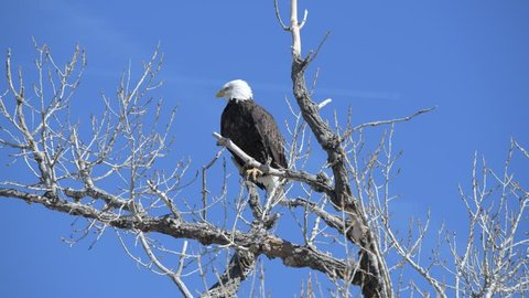 A Bald Eagle Perched in a Tree on a Windy Day