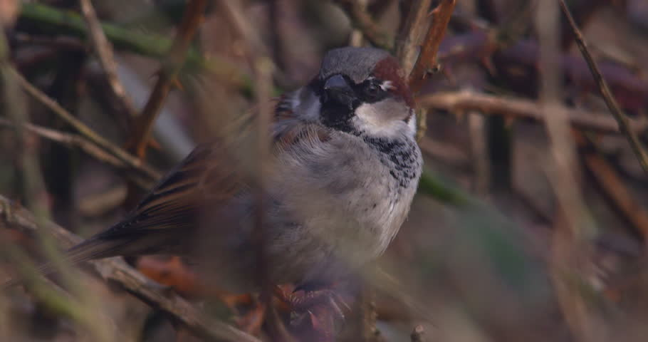 House Sparrow bird close up looking around perched slow motion
