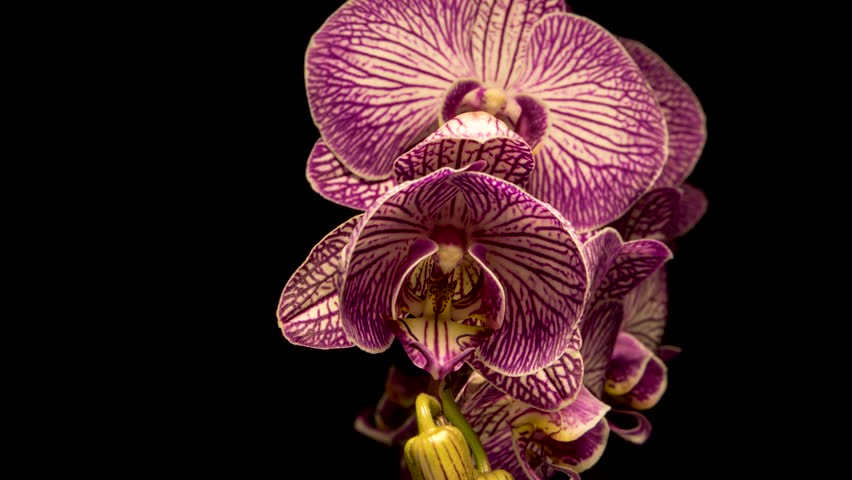 Timelapse of pink Orchid flower blooming on black background