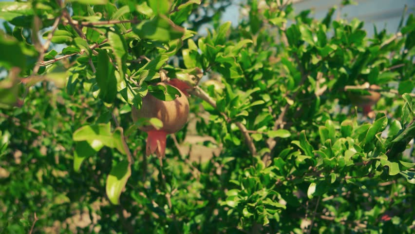 Pomegranate Fruit On Tree Moving With Wind
