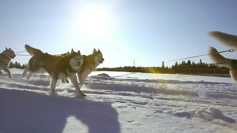 Dogs harnessed by dogs breed Husky pull sled with people, slow motion, Video loop