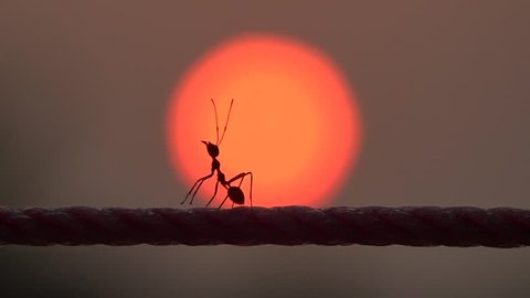 red ants running in sunrise