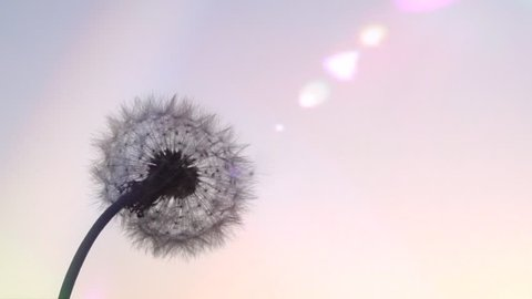 Dandelion. The wind blows away dandelion seeds in the setting sun. Slow motion. High speed camera shot. Full HD 1080p.