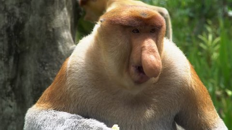 Male Proboscis Monkey (Nasalis larvatus) Chewing Food. Endangered Endemic Borneo Animal