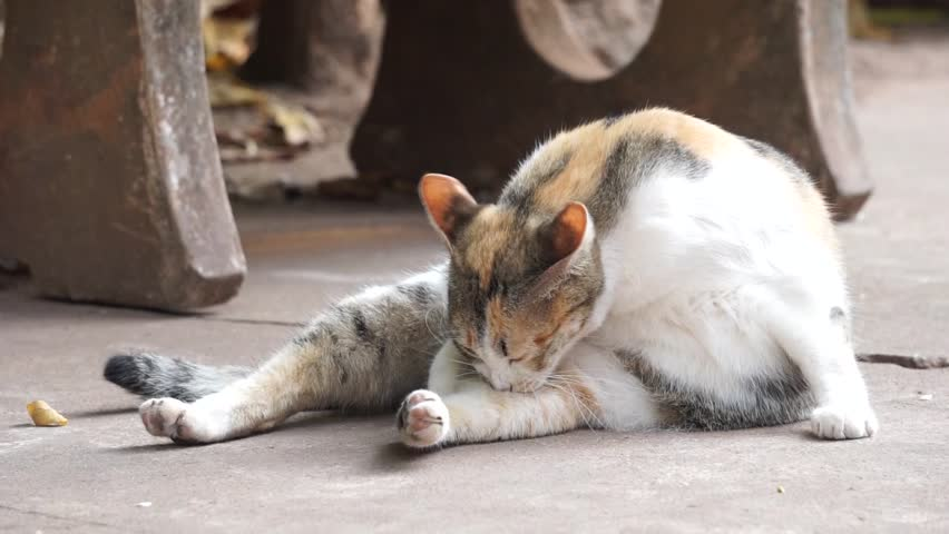 Orange and white Cat lays down on the street and lick its body. | Shutterstock HD Video #1008841451