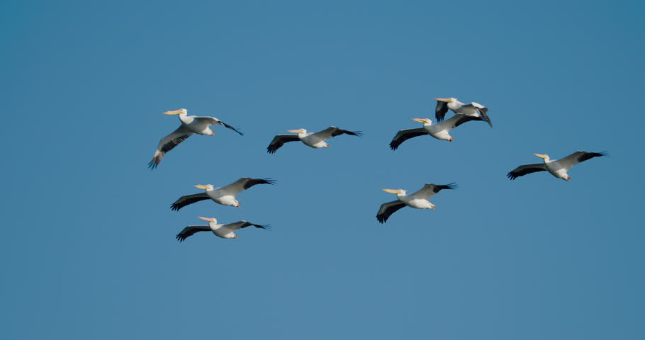 Group of white pelicans flying against solid, cloudless, blue sky in 4K slow-motion at 120 fps.