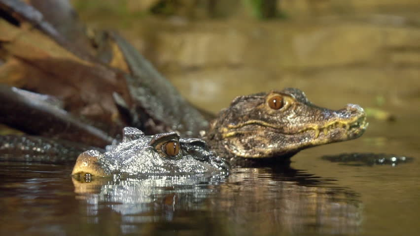 Slow motion of 2 Dwarf Caimans in the water as one climbs over the other.