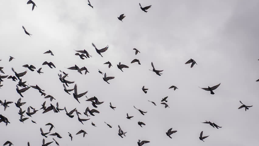 Large Flock of Birds. A flock of birds against the sky. Slow Motion at a rate of 240 fps  #10089551