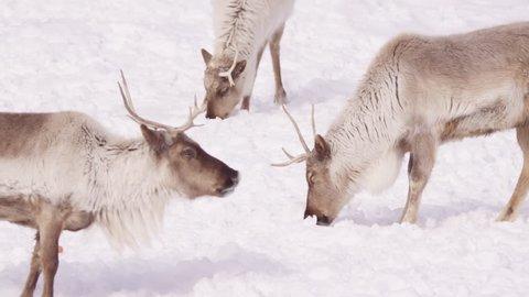 Reindeer herd slow motion looks at camera