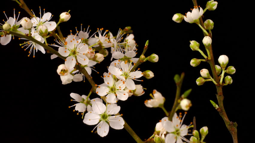 blackthorn or 'may' blossom flowering, time lapse.
