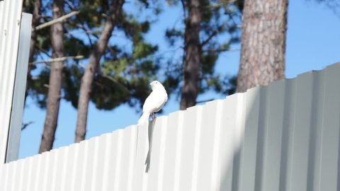 White canary bird stands in a top of a white fence with pine trees and blue sky as a background.