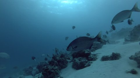Scuba diver shooting two Tawny nurse sharks swims in school of Brassy Chub