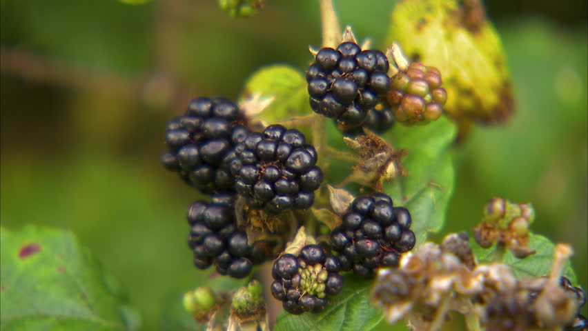 A close up shot of blackberries ready to be picked.