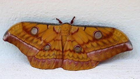Tussar silk moth ( Antheraea paphia ) relax on the white wall, Luang Prabang, Laos. Macro view tropical butterfly lepidoptera.