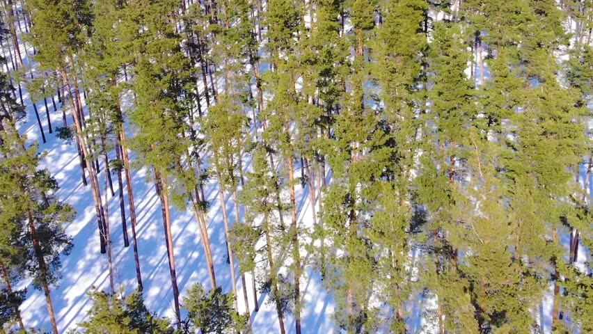Aerial view over a early spring pine forest during sunny day. Snow covered ground