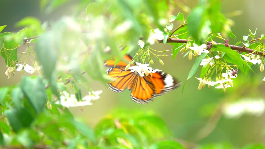 Butterfly flying concept. slow motion butterfly flying catching white flower on daytime. This butterfly is beautiful orange black color wings. It fresh and beautiful nature in summer.