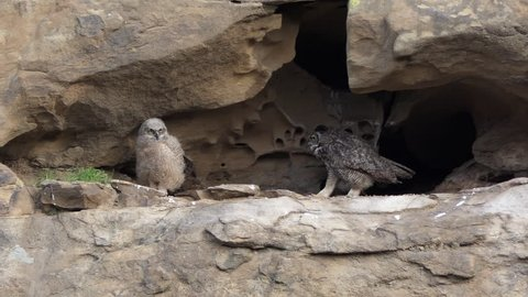 Mother California Great Horned Owl walking toward young Owlet in mountain cliff nest.  Shot in the Santa Susana Pass area of the west San Fernando Valley area in Los Angeles.