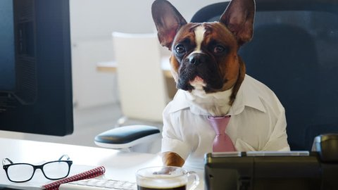 French bulldog working in an office, looking to camera