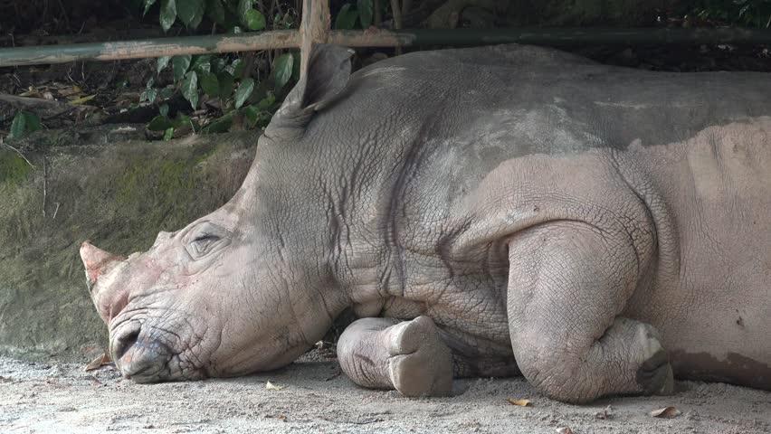 Square-lipped white rhinoceros (Ceratotherium simum) sleeping in shadow