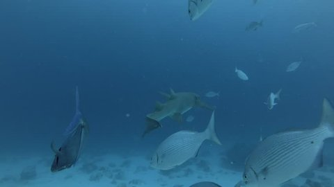 Tawny nurse shark swims in school of Brassy Chub