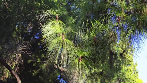 Pinus canariensis, Canary Island pine, is species of gymnosperm in coniferous family Pinaceae. It is large, evergreen tree native and endemic to outer Canary Islands in Atlantic Ocean.