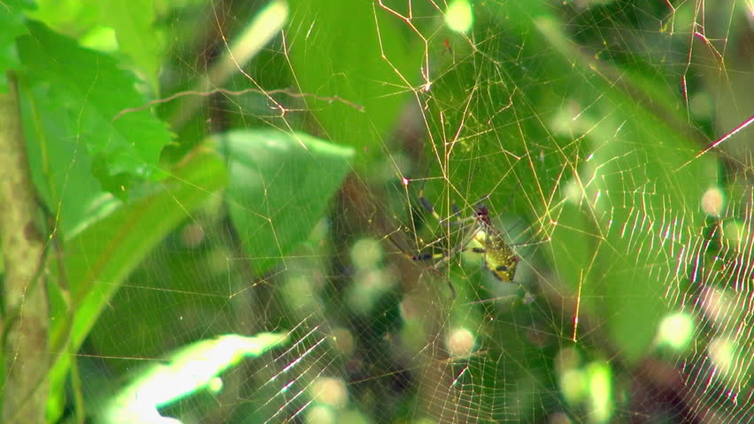 Close-Up: Tiger-Face Spider On It's Web