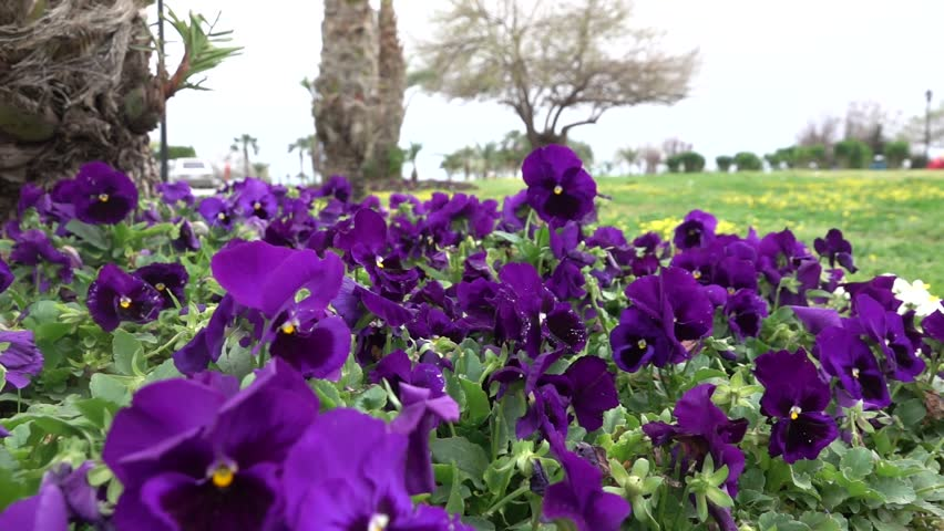 Purple or tricolor pansy viola flowers waving in the wind, 1080p full hd slow motion video.