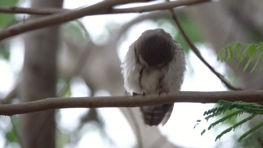 Spotted owlet bird preening its chest feathers perching on pine tree branch and flying out,4K video. Owlet beauty salon.
