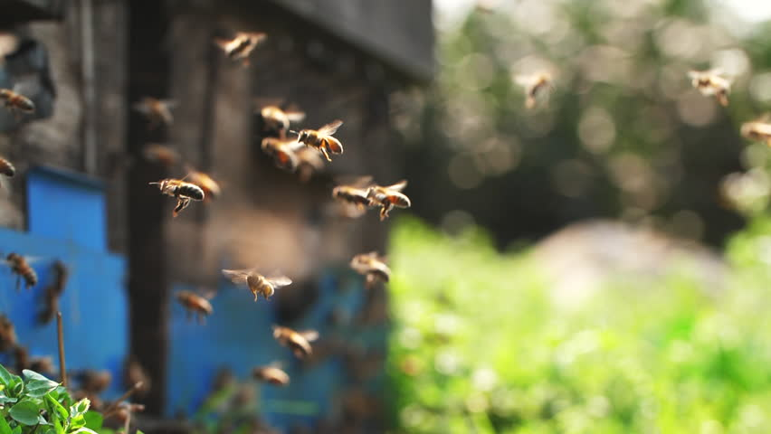 Slow motion of Honey Bee flying around Beehive with blurred background