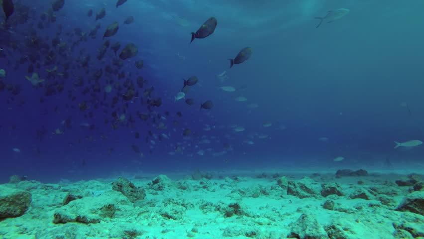 Big school of Yellowfin Surgeonfish - Acanthurus xanthopterus swim over reef under boat