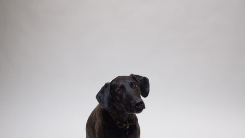 Black hound dog catching food in slow motion on white isolated background