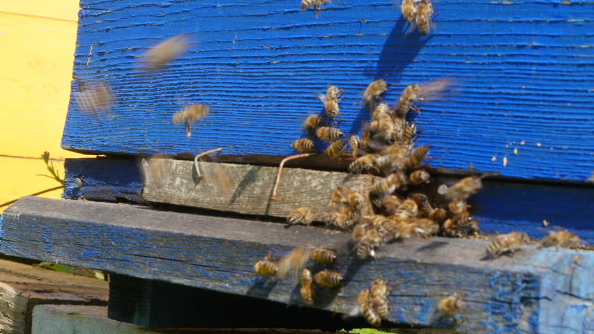 Bees on an apiary near hives on a Sunny day   Shutterstock HD Video #1009620641