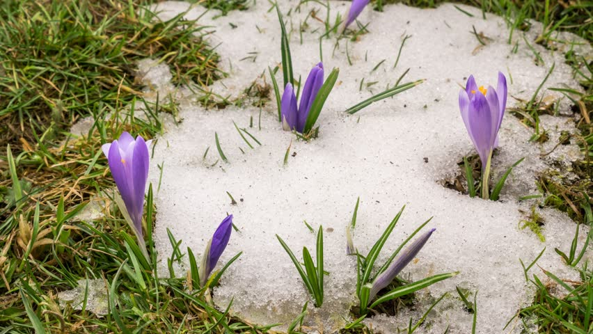 Snow melting and crocus flower blooming in spring Time lapse    Shutterstock HD Video #1009622651