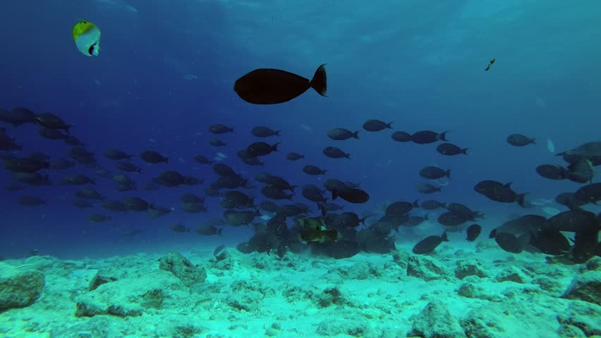 Big school of Yellowfin Surgeonfish - Acanthurus xanthopterus swim over reef