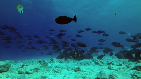 Big school of Yellowfin Surgeonfish - Acanthurus xanthopterus swim over reef