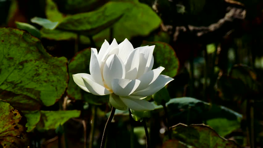 Lotus Flower Royalty High Quality Stock Footage Video 100