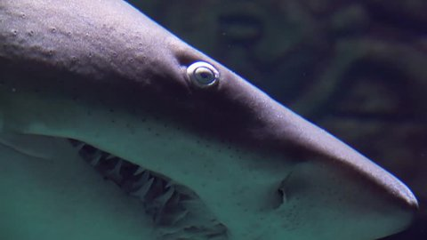 Ragged-tooth Shark close up while swimming past in slow motion