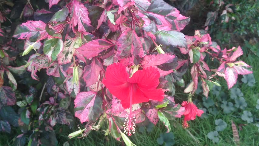Hd0018red Hibiscus Flower Blowing In The Wind With Pink Red Leaf