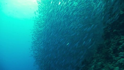 shoal of sardines gathering in the blue of the red sea