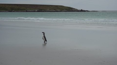 Lone Magellanic Penguin walking on the beach at Volunteer Point, Falkland Islands