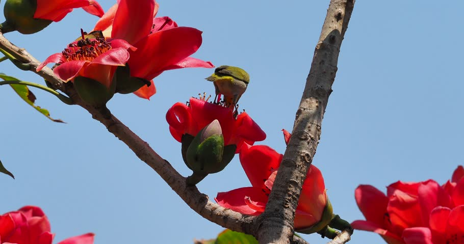 Japanese White-eye (Zosterops japonica) playing on silk cotton flower