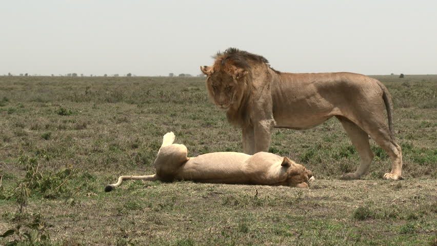 Lions (Panthera leo) couple in courtship, female is relaxing on the ground while male is standing next to her
